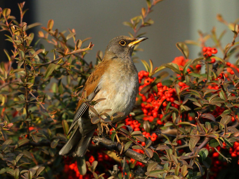 BORGで撮影した野鳥・シロハラの写真画像