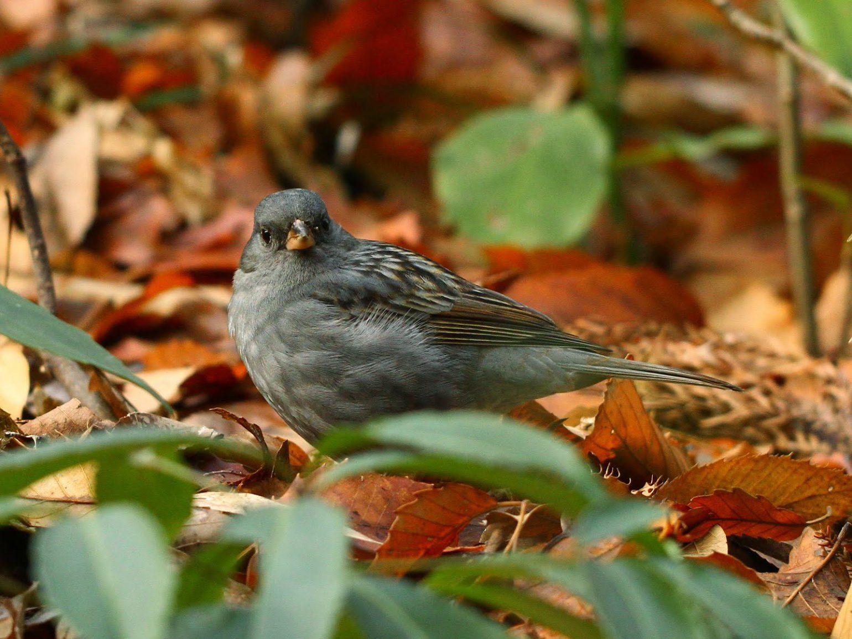BORGで撮影した野鳥・クロジの写真画像