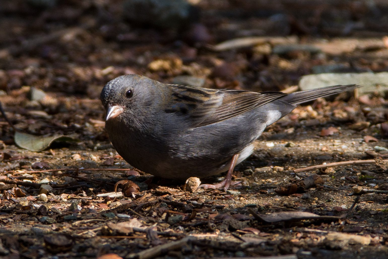 AFボーグ BORG71FLで撮影した野鳥・クロジの写真画像
