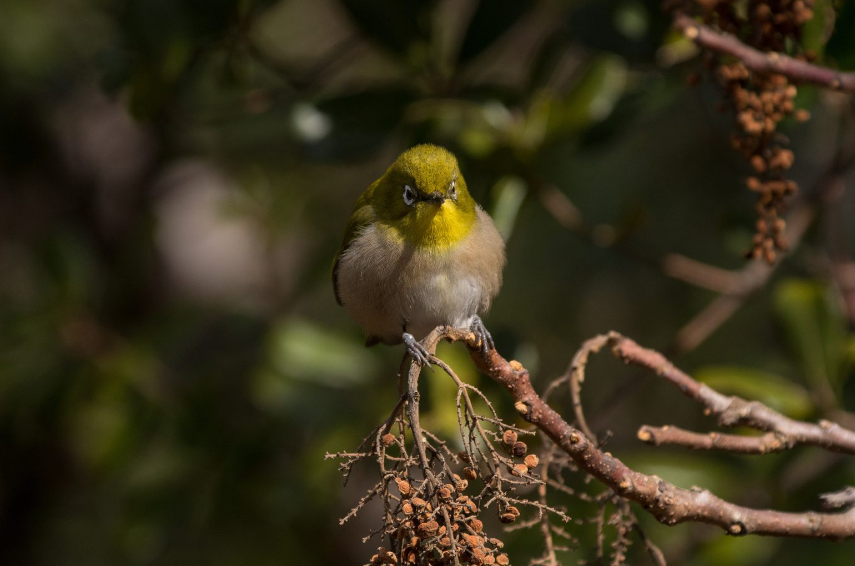 AFボーグ BORG45EDⅡで撮影した野鳥・メジロの写真画像