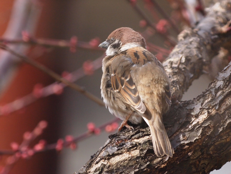 BORG45EDⅡで撮影した野鳥・スズメの写真画像