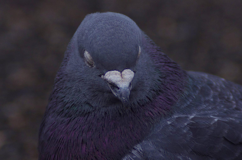 BORG50で撮影した野鳥の写真画像