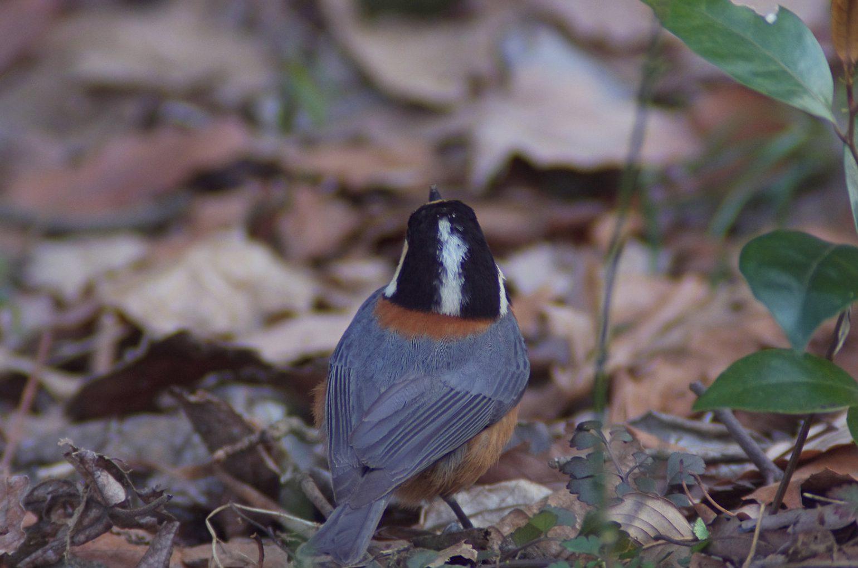 BORG50で撮影した野鳥・ヤマガラの写真画像