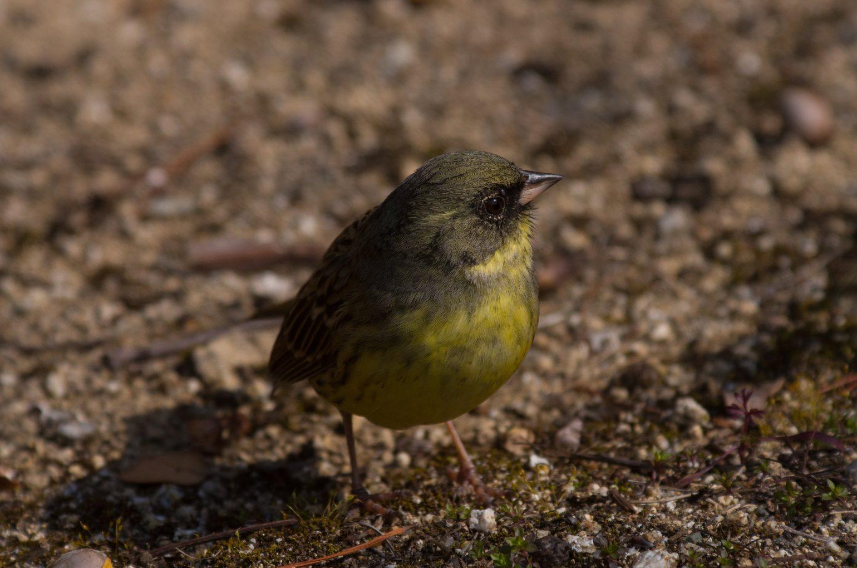BORG45EDⅡで撮影した野鳥・アオジの写真画像
