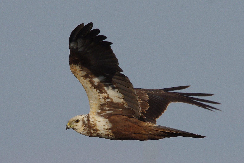 AFボーグ BORG89EDで撮影した野鳥・チュウヒの飛翔シーン写真画像