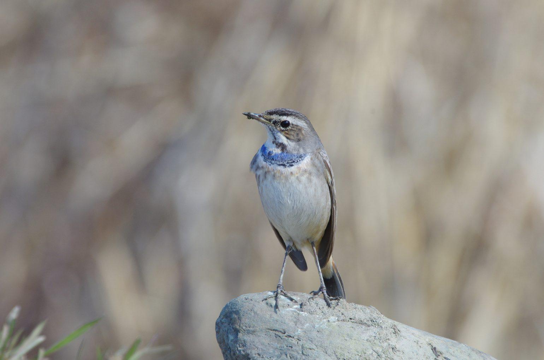 AFボーグ BORG71FLで撮影した野鳥・オガワコマドリの写真画像