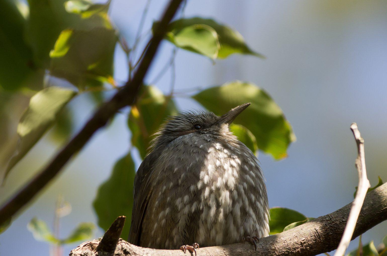 AFボーグ BORG77EDⅡで撮影した野鳥・ヒヨドリの写真画像