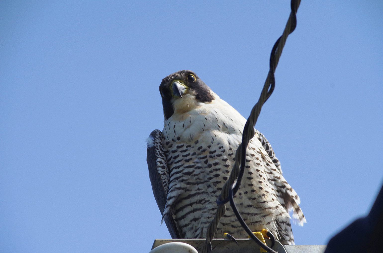BORG89EDで撮影した野鳥・ハヤブサの写真画像
