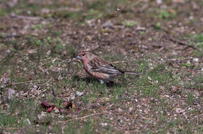 BORG50FLで撮影した野鳥・オオマシコの写真画像