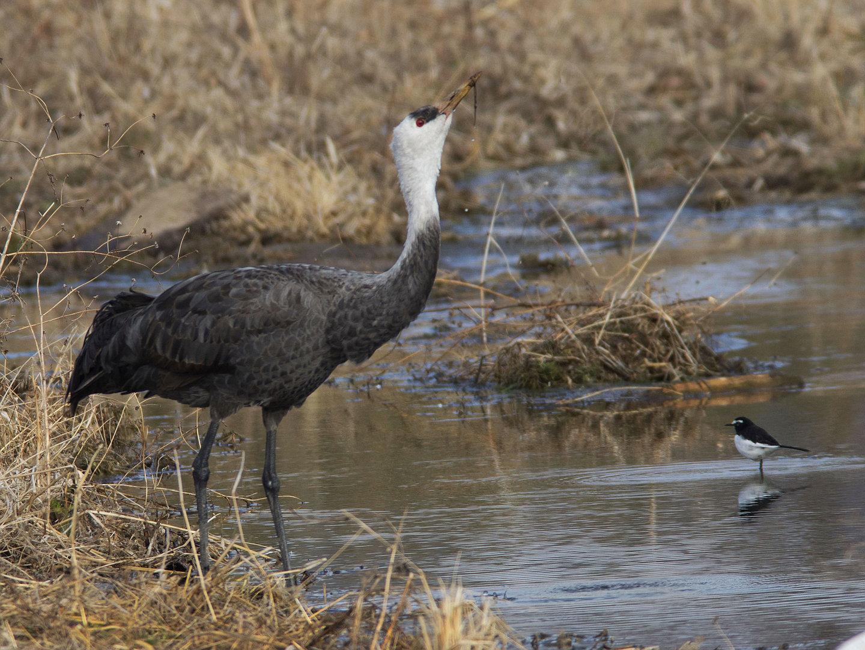 AFボーグ BORG71FLで撮影した野鳥・ナベヅルの写真画像