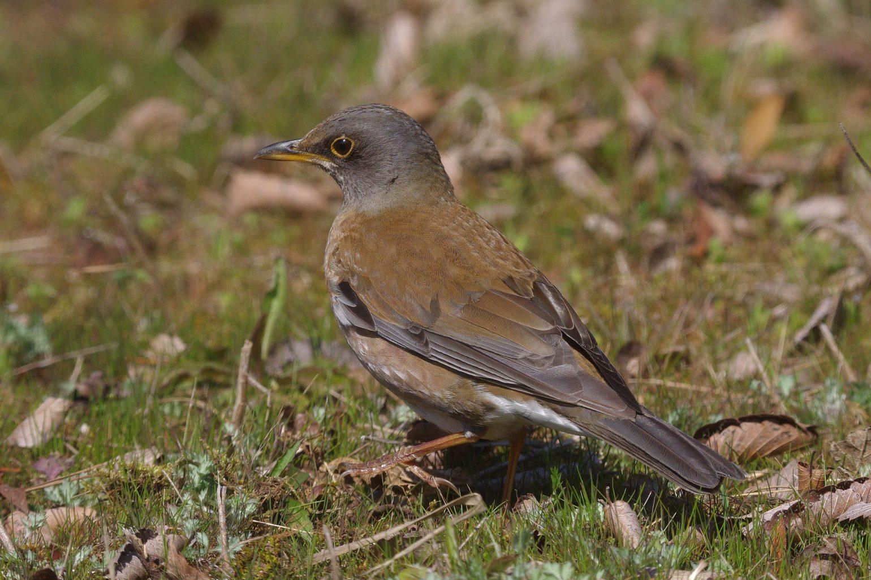 BORG50FLで撮影した野鳥・シロハラの写真画像