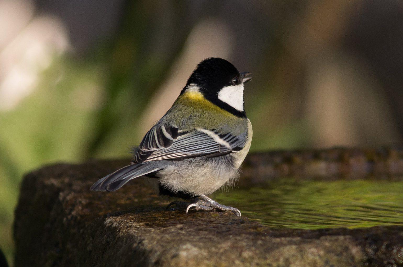 BORG89EDで撮影した野鳥・シジュウカラの写真画像