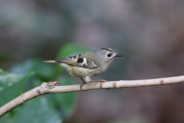 BORG89EDで撮影した野鳥・キクイタダキの写真画像