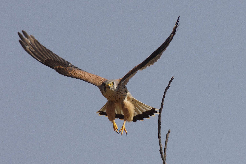 BORG77EDⅡで撮影した野鳥・チョウゲンボウの写真画像