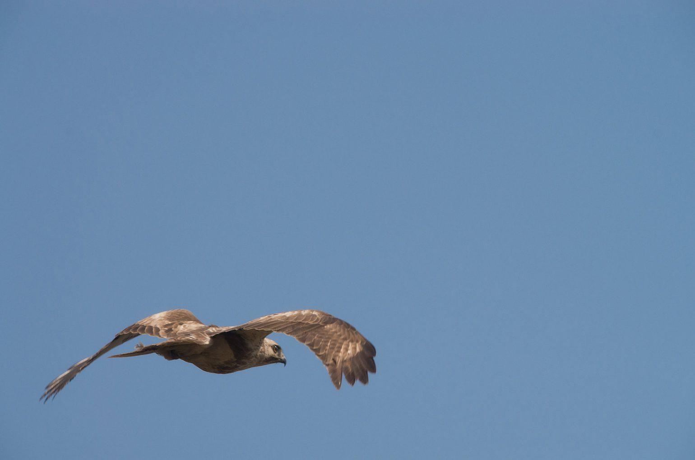 BORG50FLで撮影した野鳥・トンビの写真画像