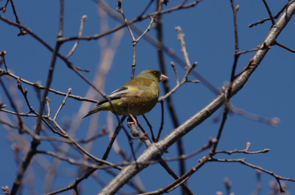 AFボーグ BORG71FLで撮影した野鳥・カワラヒワの写真画像