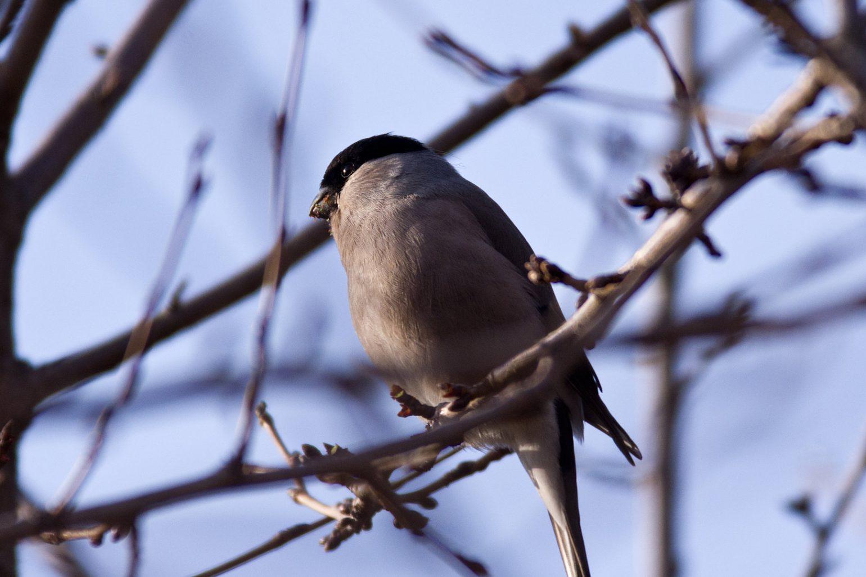 AFボーグ BORG71FLで撮影した野鳥・アカウソの写真画像