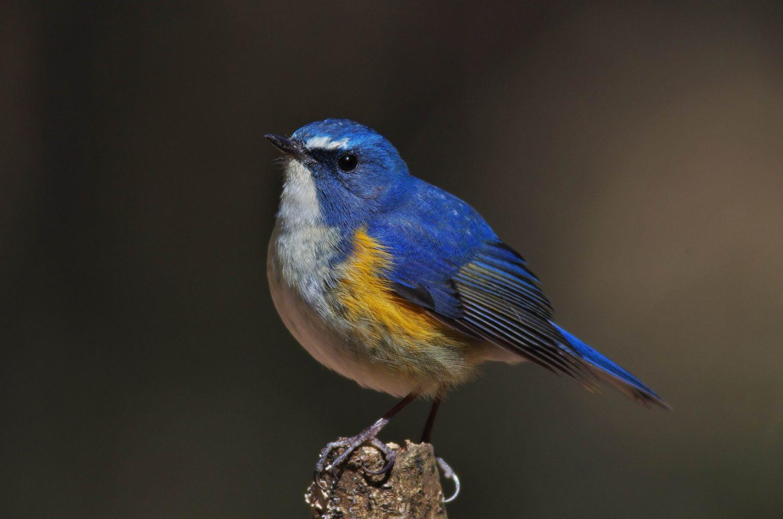 AFボーグ BORG77EDⅡで撮影した野鳥・ルリビタキの写真画像