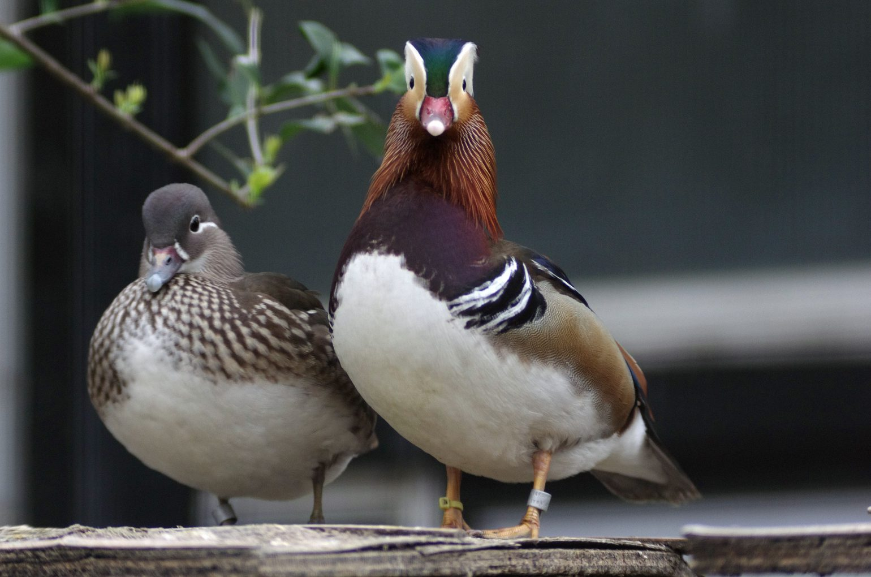 BORG50で撮影した野鳥・オシドリの写真画像