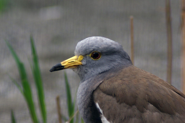 BORG50で撮影した野鳥・ケリの写真画像