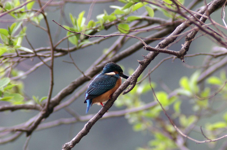BORG50で撮影した野鳥・カワセミの写真画像