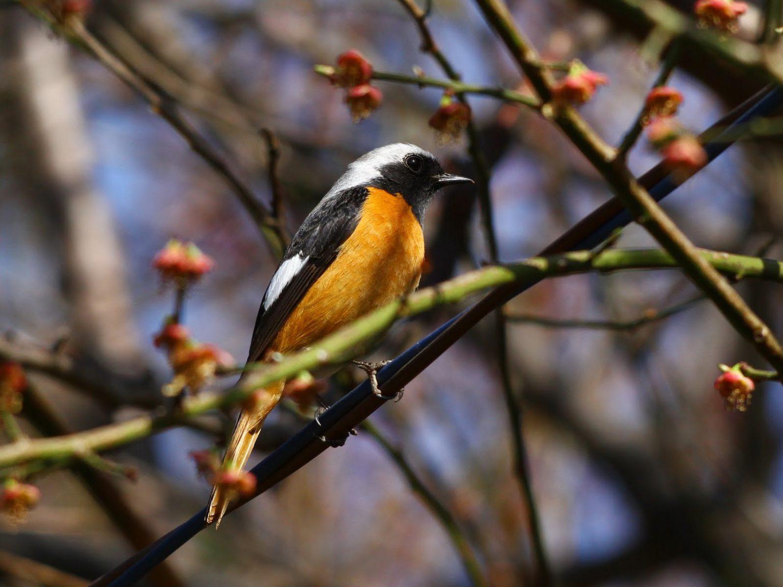 BORGで撮影した野鳥・ジョウビタキの写真画像