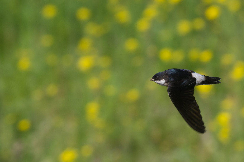 BORGで撮影した野鳥・イワツバメの飛翔写真画像