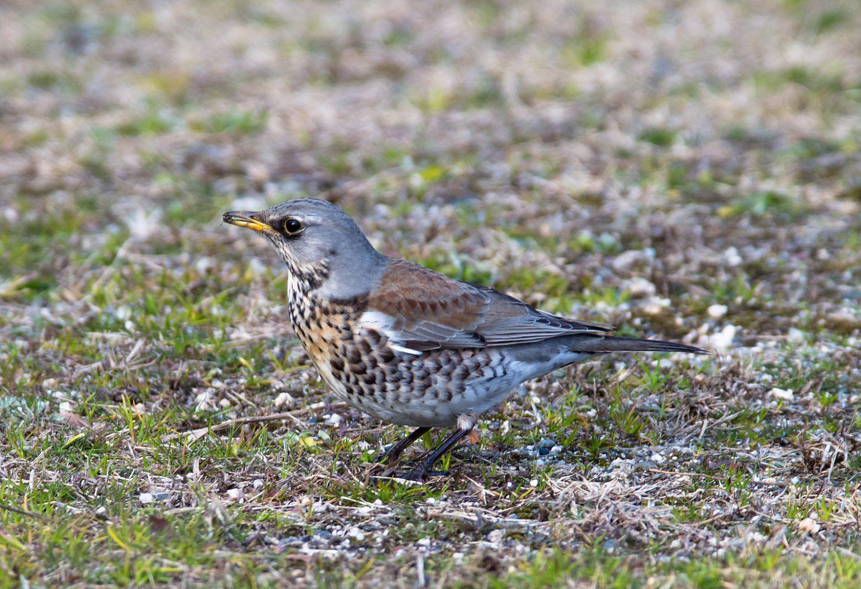 AFボーグ BORG71FLで撮影した野鳥・ノハラツグミの写真画像