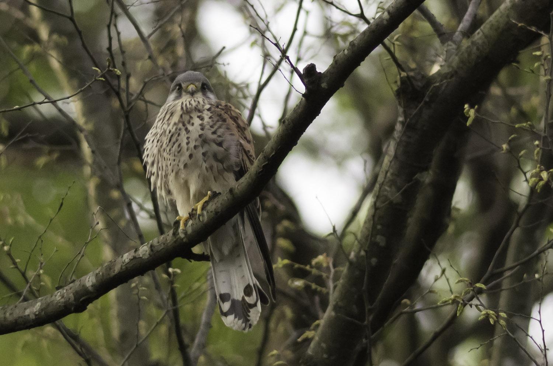 BORGで撮影した野鳥・チョウゲンボウの写真画像