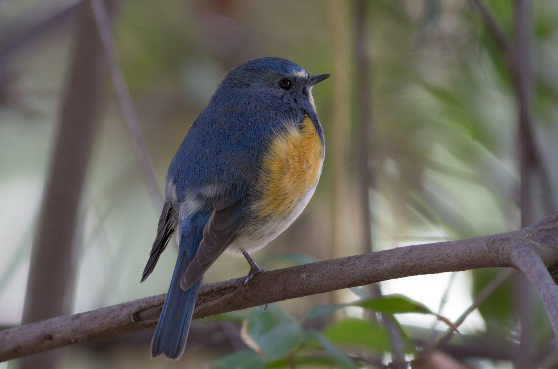 BORG89EDで撮影した野鳥・ルリビタキの写真画像