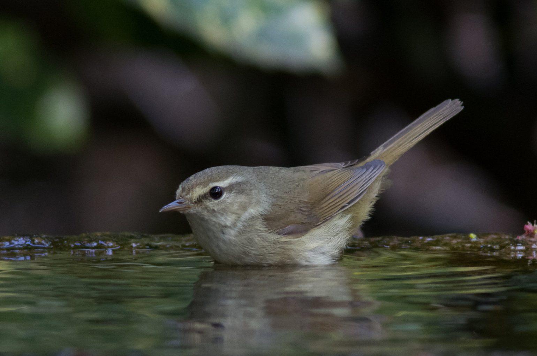BORG89EDで撮影した野鳥・ウグイスの写真画像