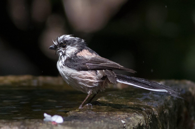 BORG89EDで撮影した野鳥・エナガの写真画像