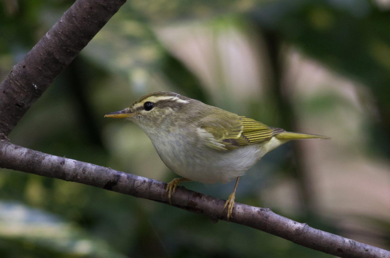 BORG89EDで撮影した野鳥・ムシクイの写真画像