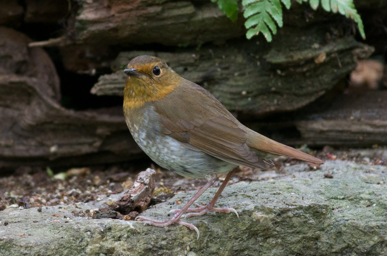 BORG89EDで撮影した野鳥・コマドリの写真画像