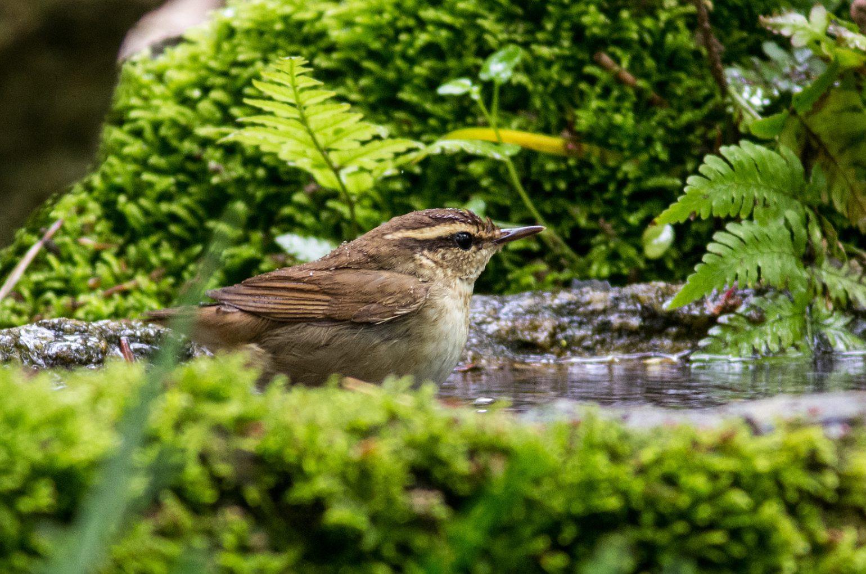 BORG89EDで撮影した野鳥・ヤブサメの写真画像