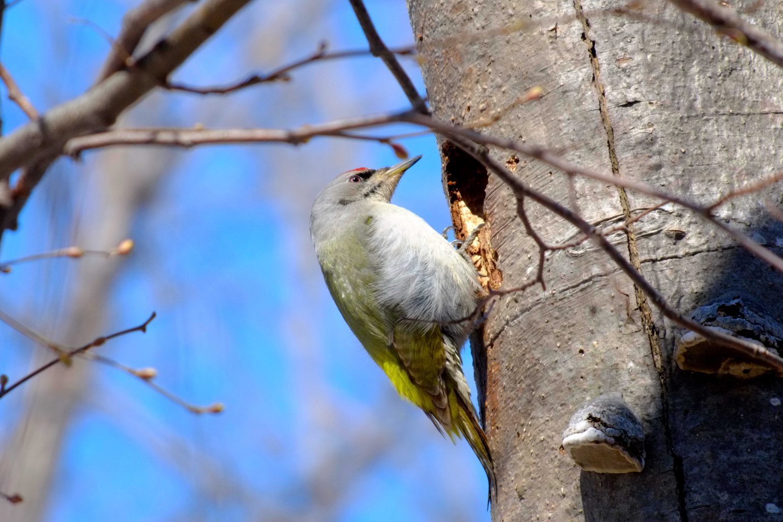 BORG45EDⅡで撮影した野鳥・ヤマゲラの写真画像