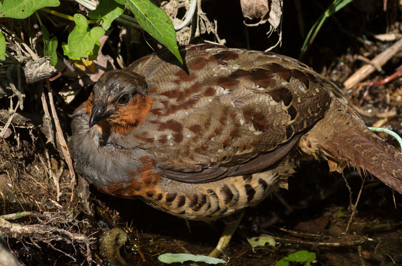 BORG89EDで撮影した野鳥・ゴジュケイの写真画像