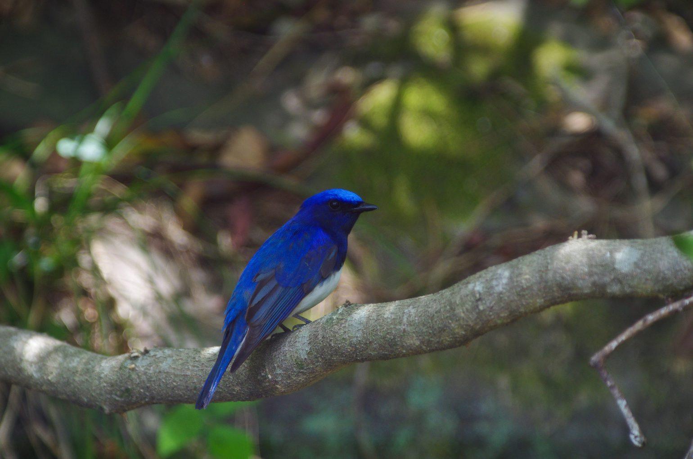 BORG71FLで撮影した野鳥・オオルリの写真画像
