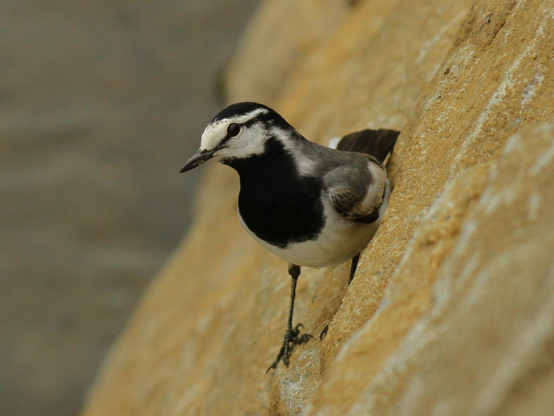BORGで撮影した野鳥・ハクセキレイの写真画像