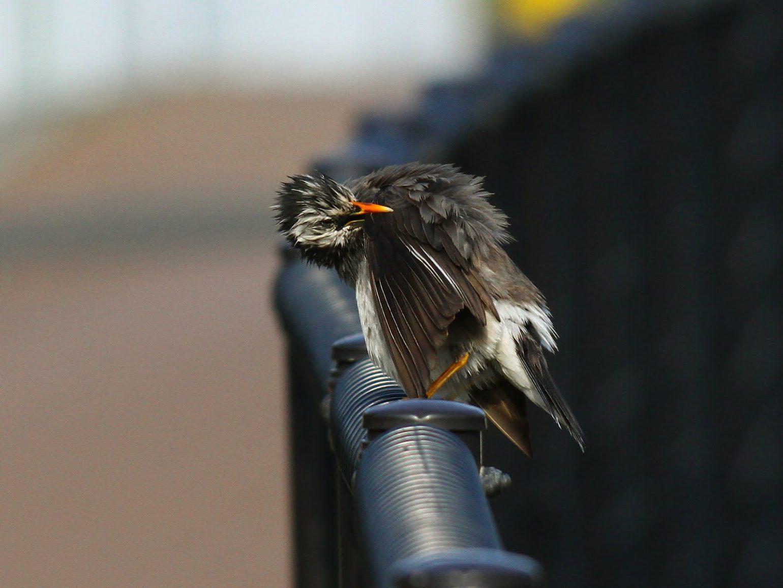 BORGで撮影した野鳥・ムクドリの写真画像