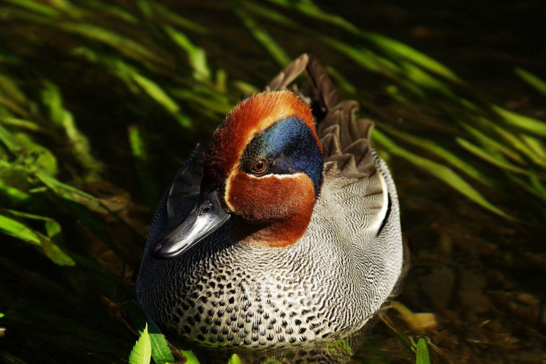 BORGで撮影した野鳥・カモの写真画像