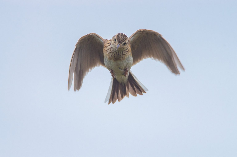 AFボーグ71FL 換算1020mm撮影 ヒバリのホバリングの写真画像