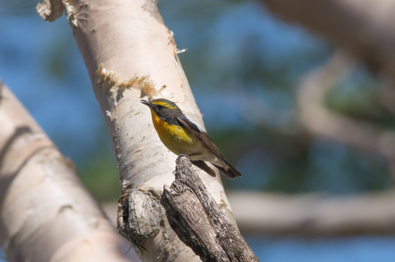 AFボーグ BORG71FLで撮影した野鳥・キビタキの写真画像