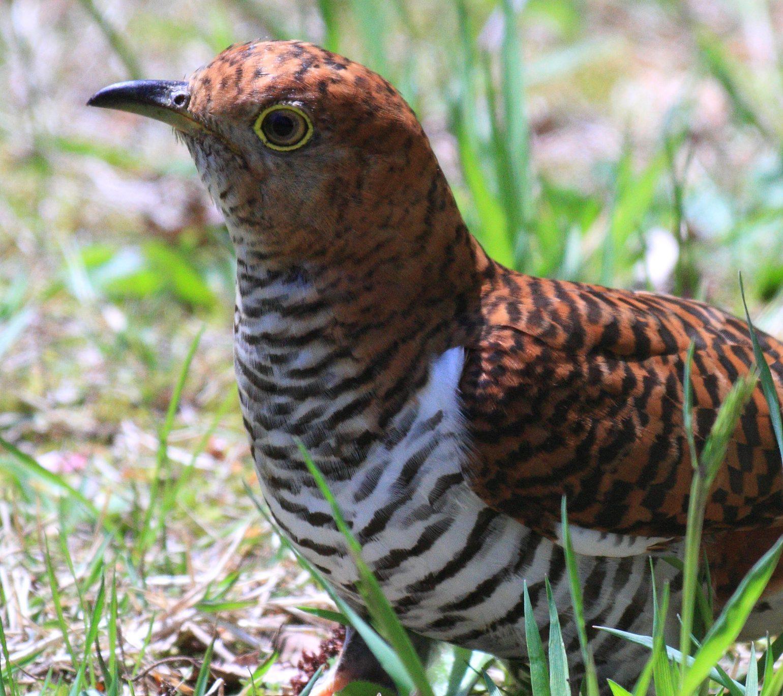 BORG71FLで撮影した野鳥・ツツドリの写真画像