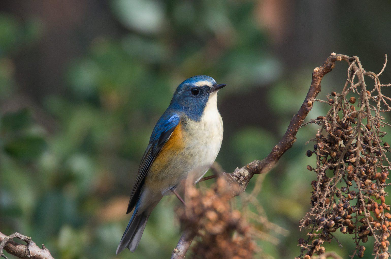 AFボーグ BORG71FLで撮影した野鳥・ルリビタキの写真画像