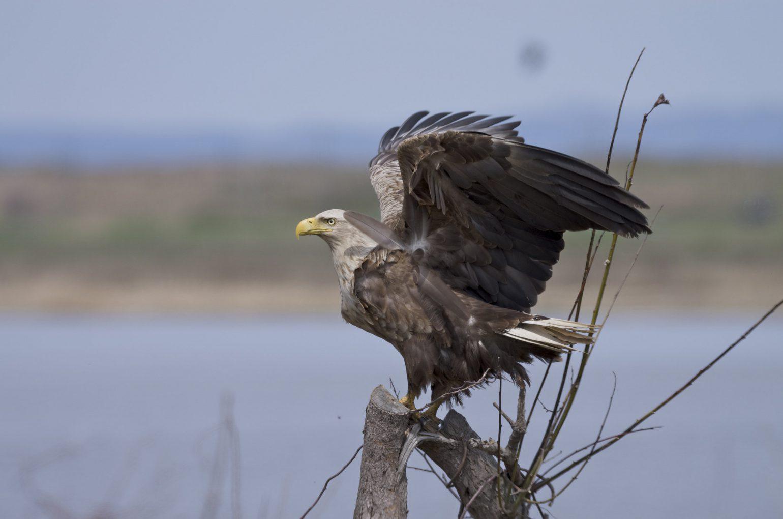BORG71FLで撮影した野鳥・オジロワシの写真画像