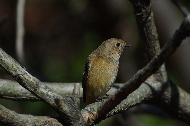 AFボーグ60EDで撮影した野鳥ジョウビタキの写真画像
