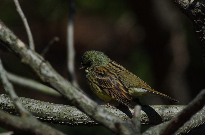 AFボーグ60EDで撮影した野鳥アオジの写真画像