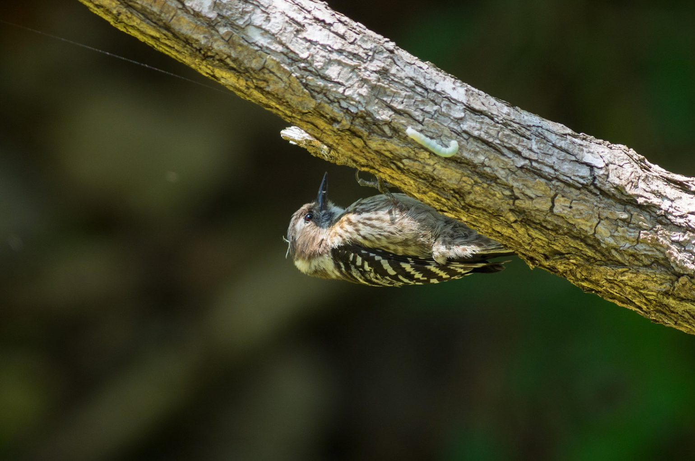 BORG89EDで撮影した野鳥・コゲラの写真画像