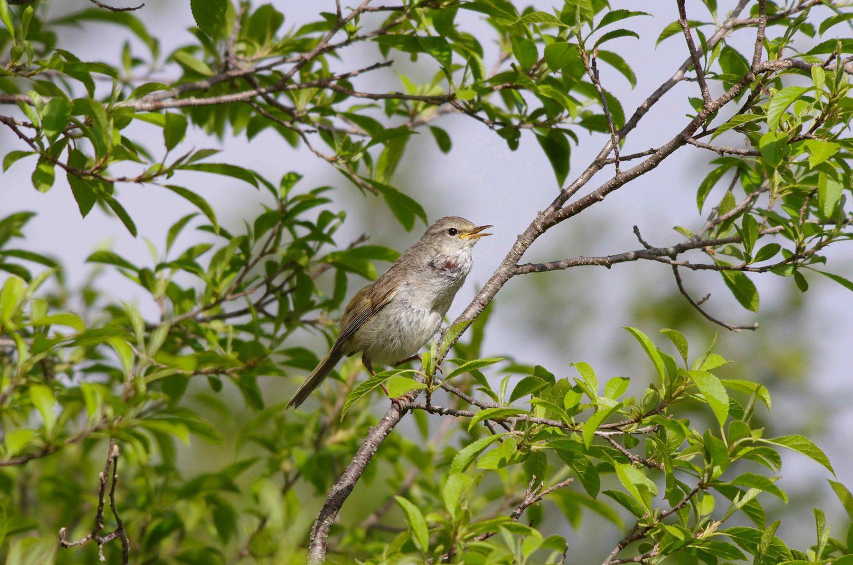 AFボーグ BORG45EDⅡで撮影した野鳥・ウグイスの写真画像